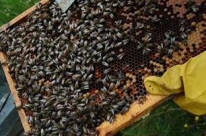 nucleos de abeja y enjambres para la venta1