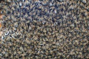 nucleos de abeja y enjambres para la venta2