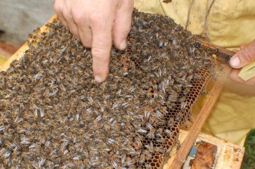 nucleos-de-abejas-para-la-venta